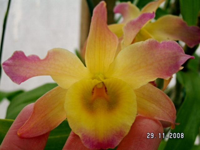 Dendrobium friedricksianum x Buderim Fantasy